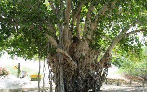 درخت کهن سال کیش
