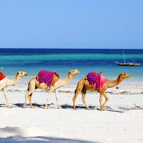 شتر سواری در جزیره کیش