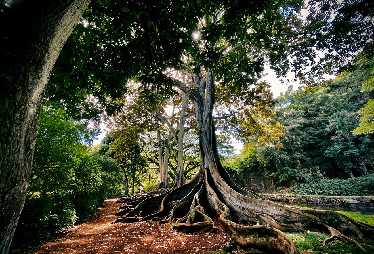 درخت کهنسال کیش